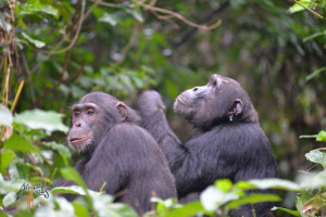 Azam and Christmas tanzania chimpanzees wm